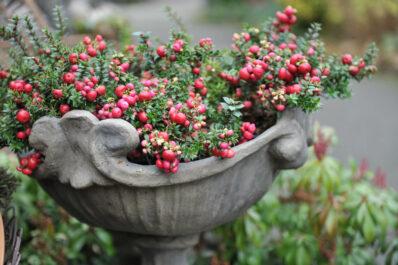 Torfmyrte: Pflanzen, Pflege & Überwintern