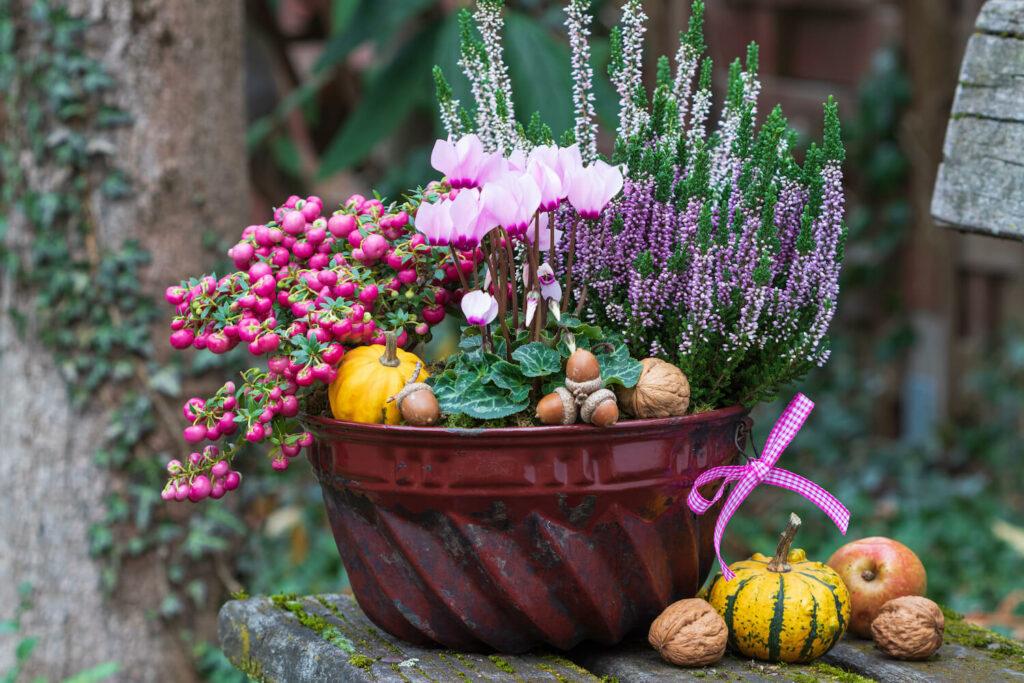 Torfmyrte als Kübelpflanze