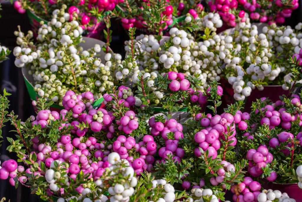 Torfmyrten mit weißen und violetten Beeren