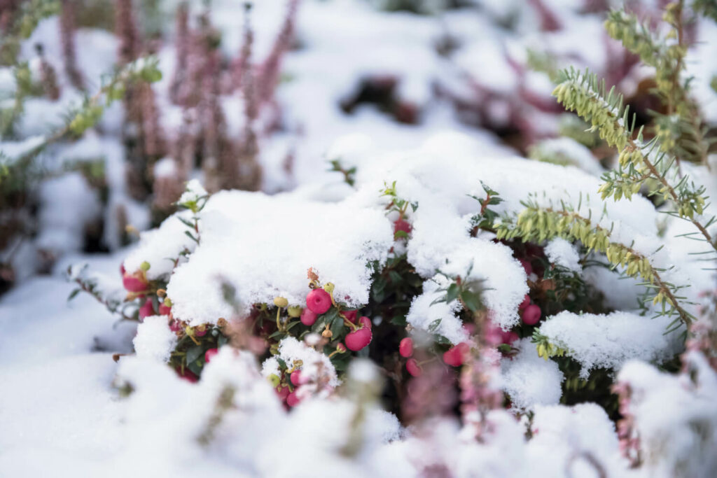 Torfmyrte im Winter