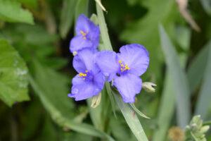 Dreimasterblume: Pflege, Arten & Vermehren der Tradescantia