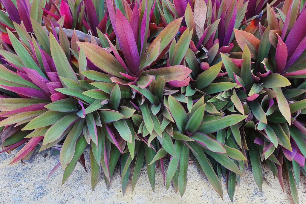 Purpurblättrige Dreimasterblume
