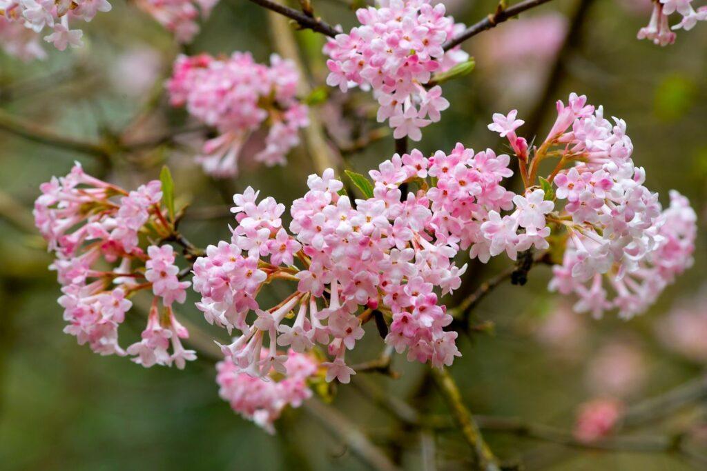 Winterschneeball-Blüten