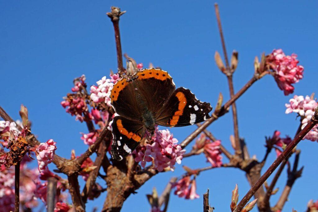 Schmetterling auf Winterschneeball-Blüte