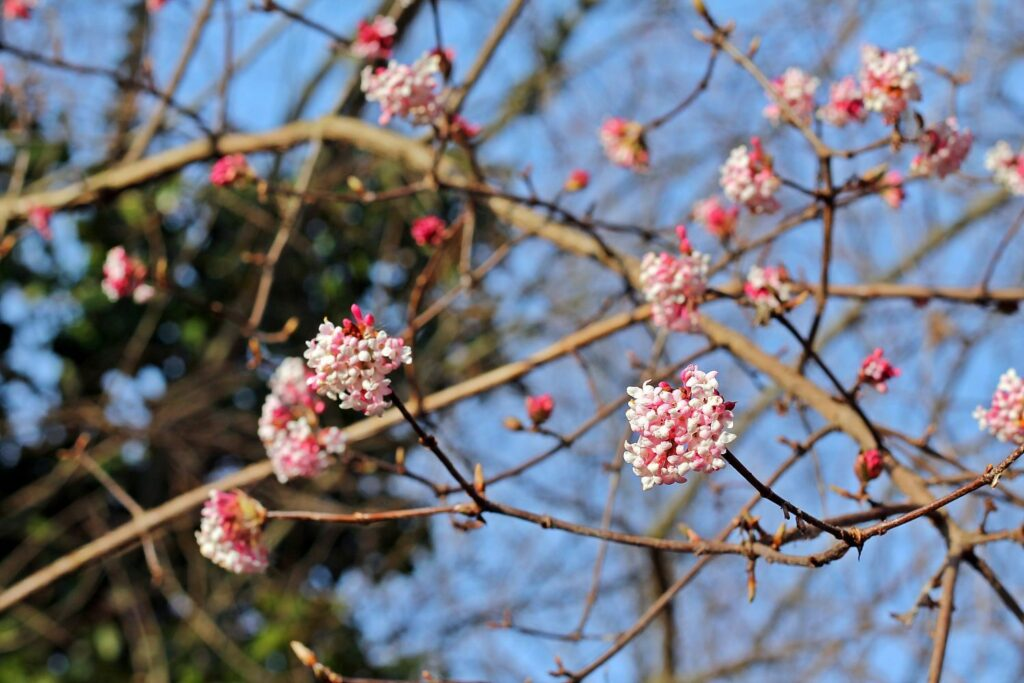 Winterschneeball am Ende der Blüte