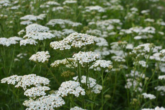 Gemeine Schafgarbe: Blütezeit, Standort & Pflege
