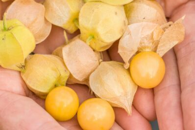 Ananaskirsche: Pflanzen, Überwintern & Ernte der Physalis pruinosa