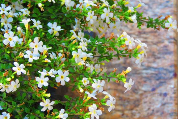 Brahmi: Pflanzen, Wirkung & Verwendung von Bacopa monnieri