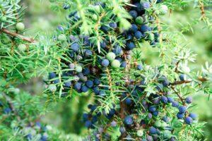 Gemeiner Wacholder: Standort, Schneiden & Giftigkeit von Juniperus communis