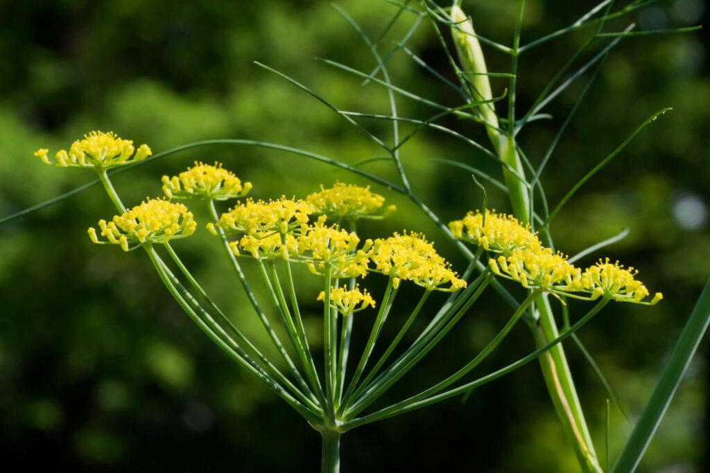 Gewürzfenchel-Pflanze