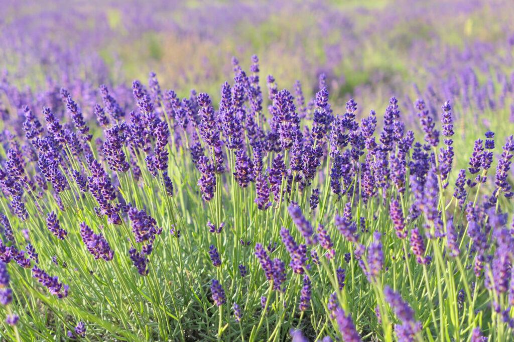 Lavendel-Strauch