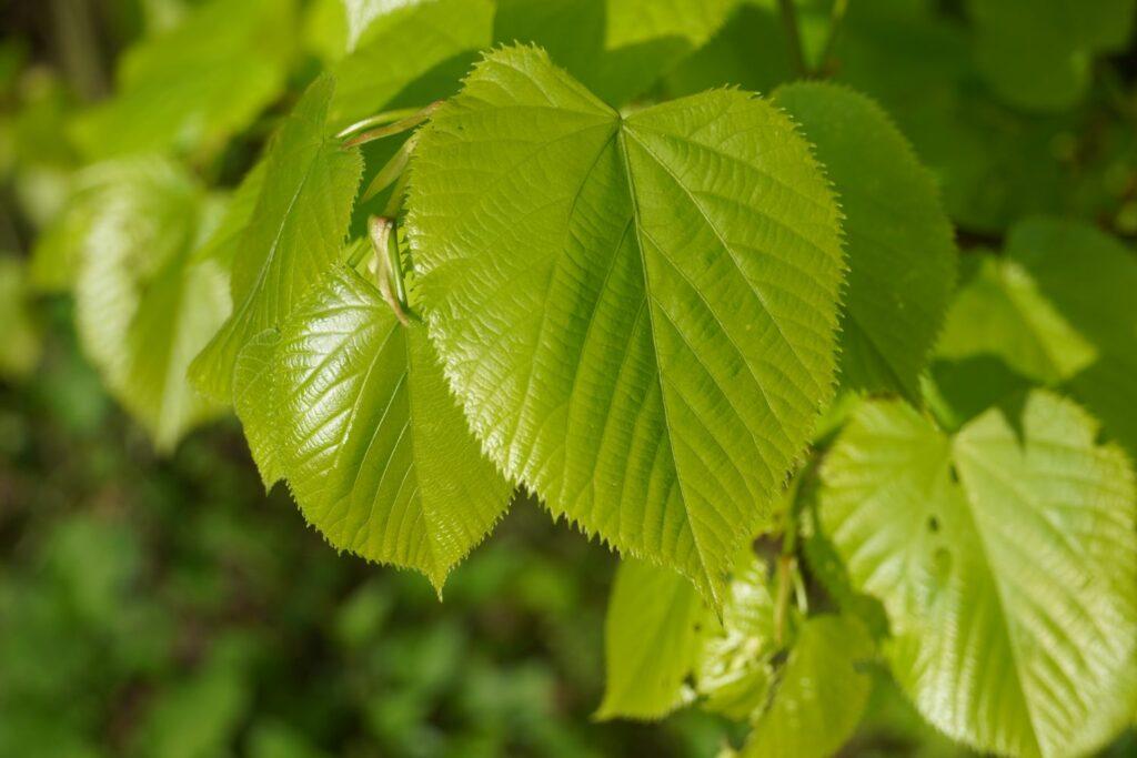 Herzförmiges Lindenblatt