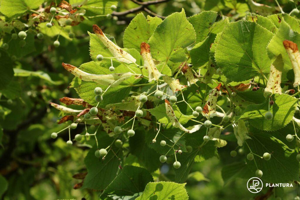 Blattbräune an Lindenbaum