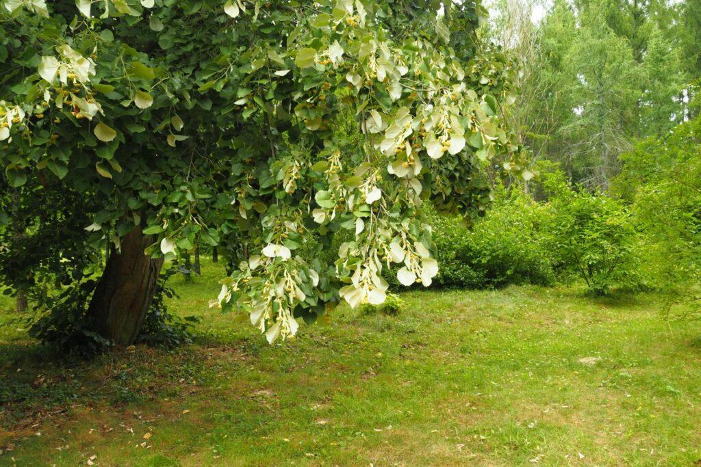 Großer Lindenbaum