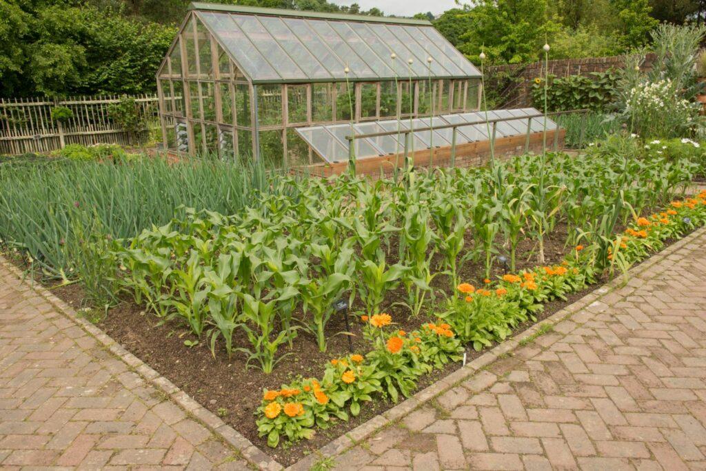 Maisanbau im Garten