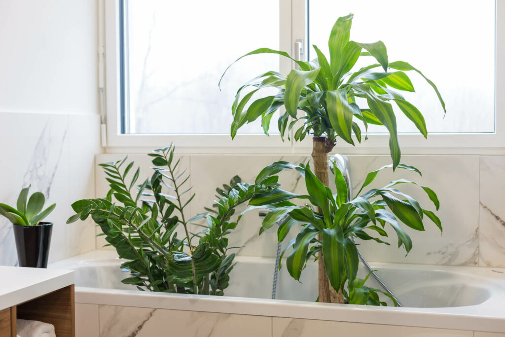 Zimmerpflanze in Badewanne