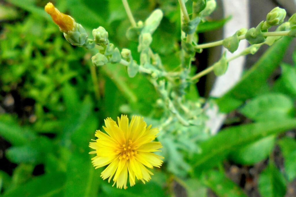 Gelbe Salat-Blüte