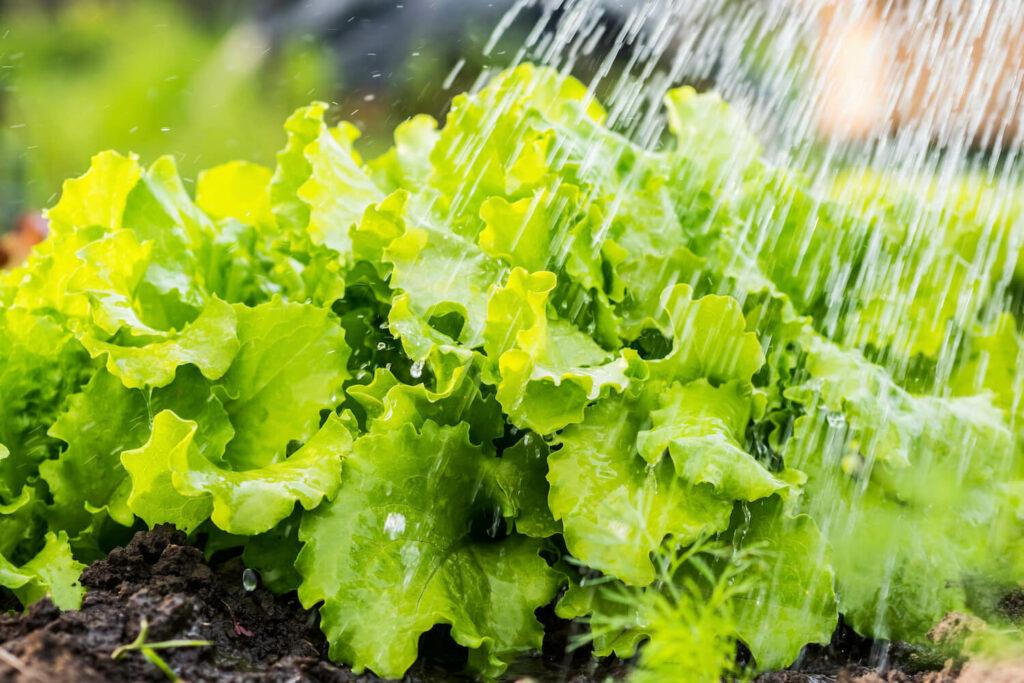 Gießen von Salat