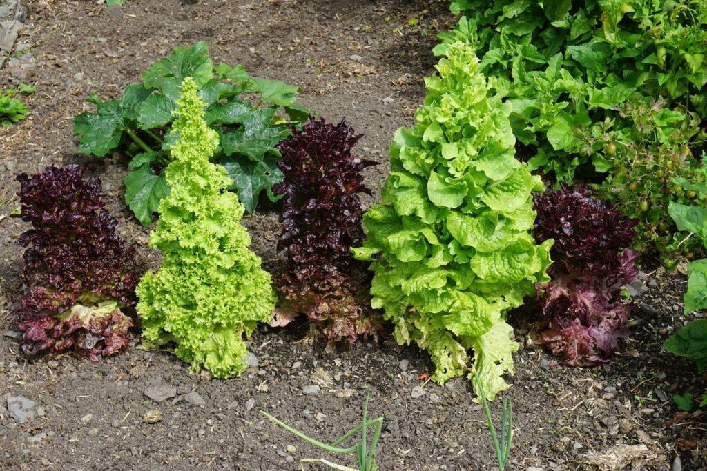 Geschossener Salat