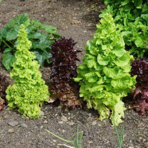 Salat schießt: Kann man geschossenen Salat noch essen?