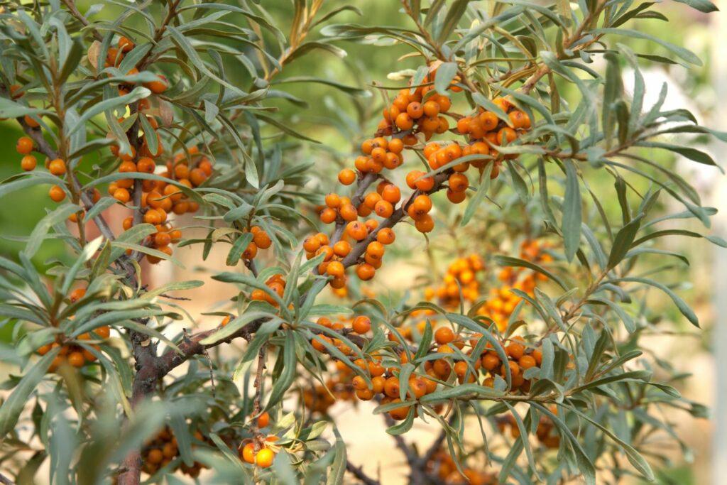 Sanddorn mit Früchten