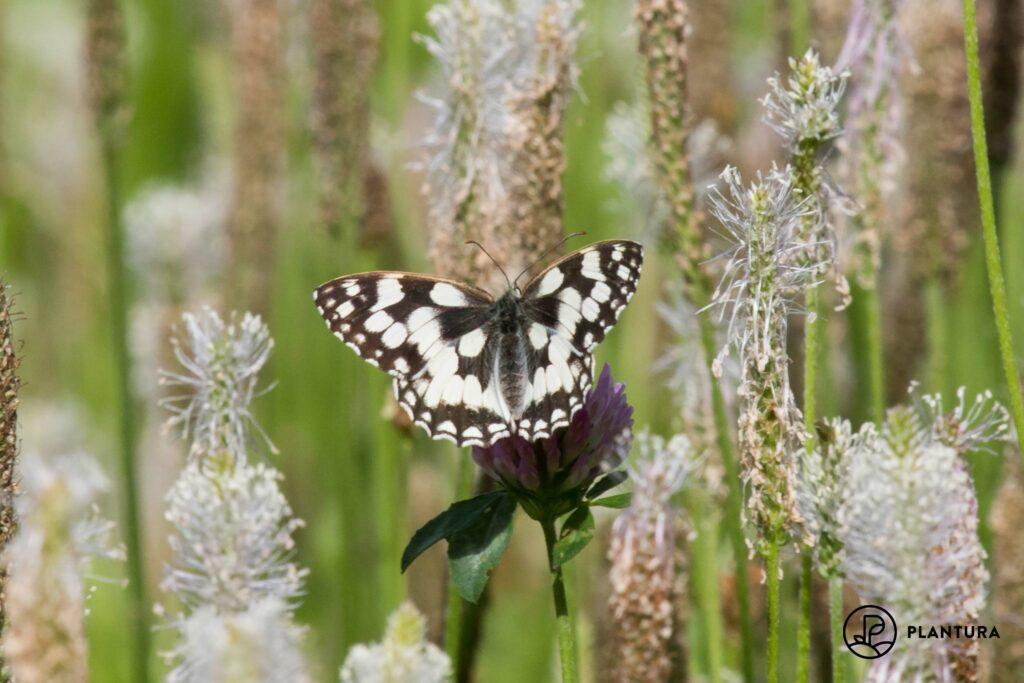 Schachbrett-Schmetterling