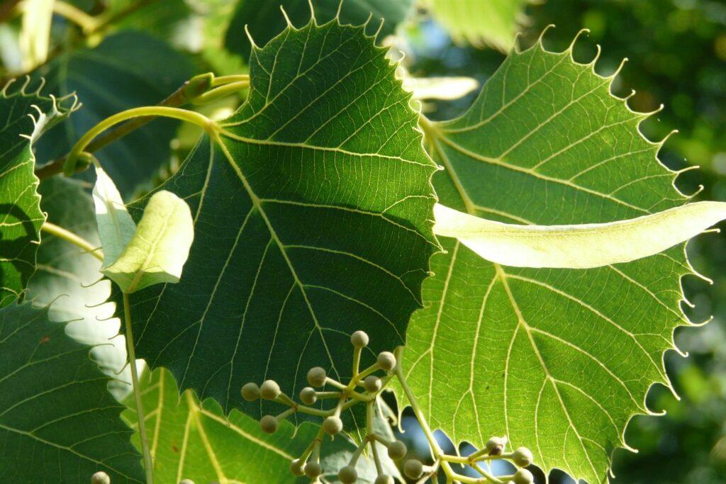 Blätter der Tilia henryana