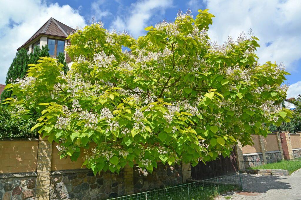 Blühender Trompetenbaum