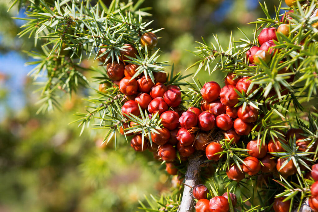 rote Wacholder-Früchte