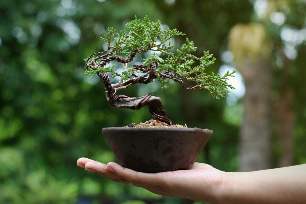 Wacholder-Bonsai