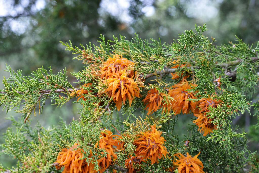 Rostpilze an Wacholder-Baum