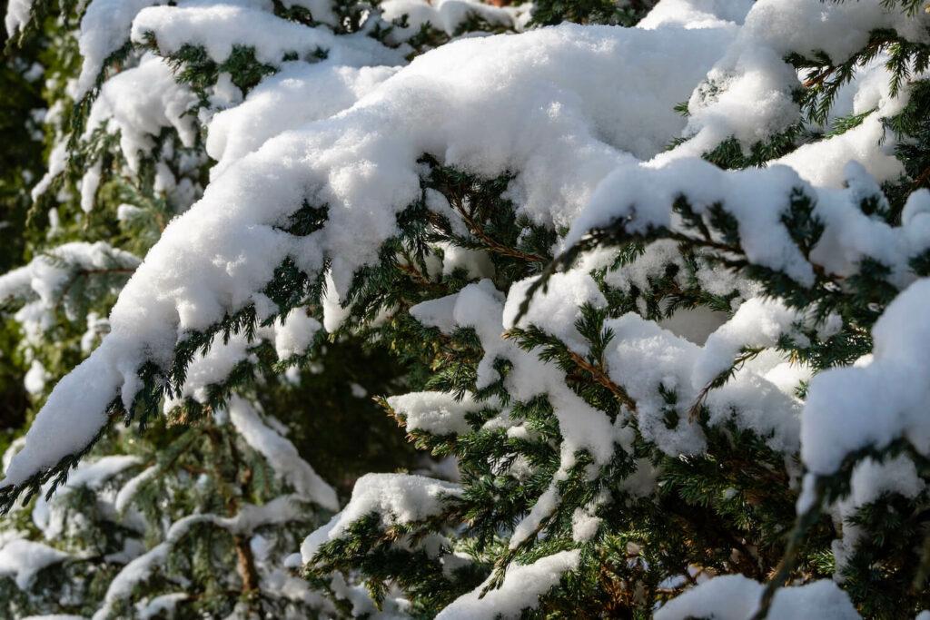 Wacholder im Winter