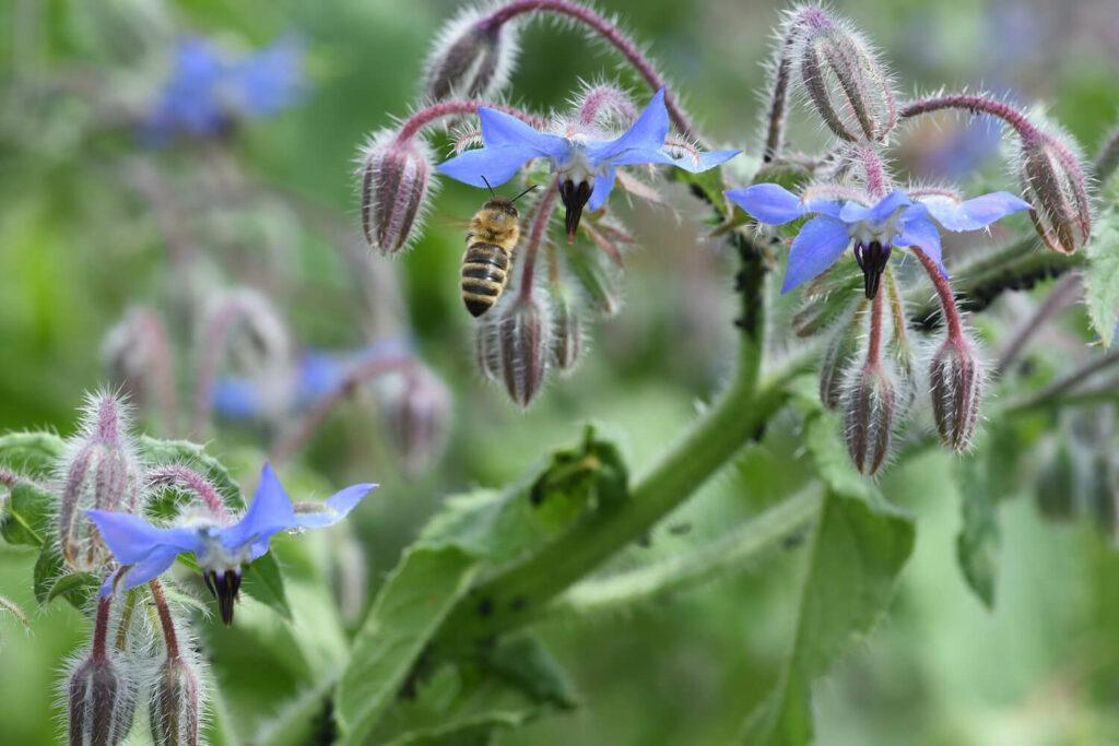 Biene auf Borretsch