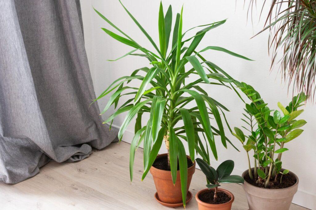 Yucca-Palme drinnen