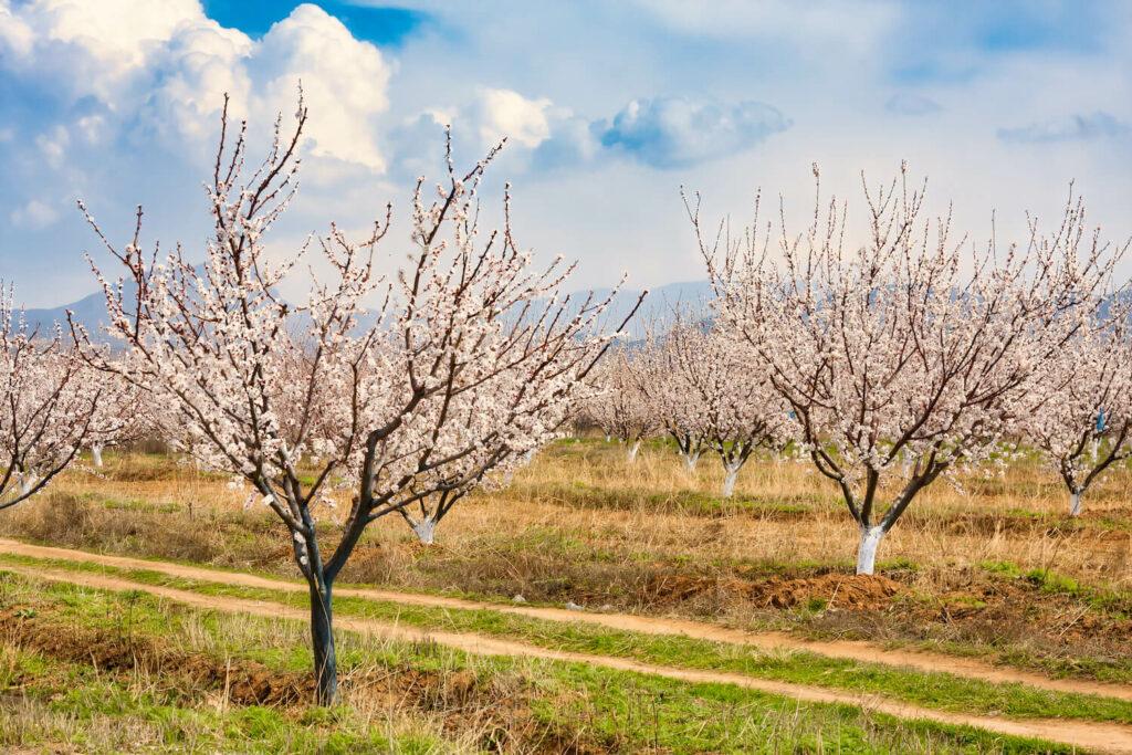 blühende, kleine Aprikosenbäume