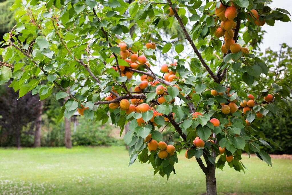 Aprikosenbaum mit Trichterkrone