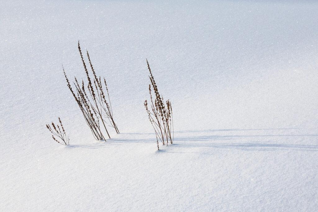 Blutweiderich-Strauch im Schnee