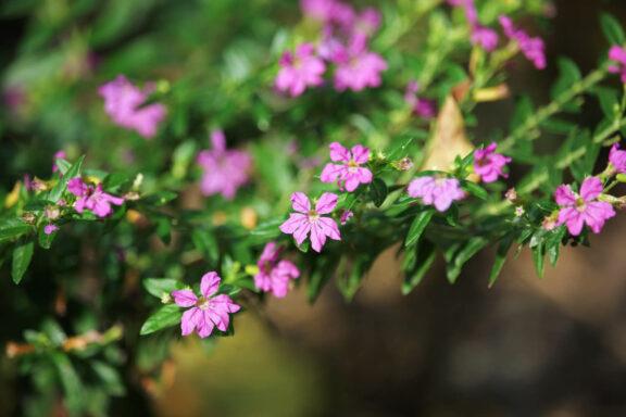 Cuphea: Pflanzen, Pflege & Überwinterung des Köcherblümchens