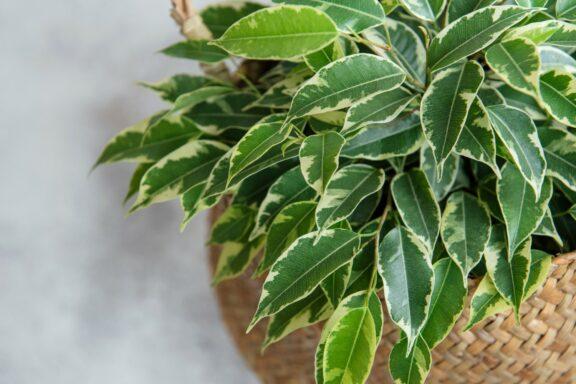 Ficus benjamina pflegen: Schneiden, Düngen & Blattverlust
