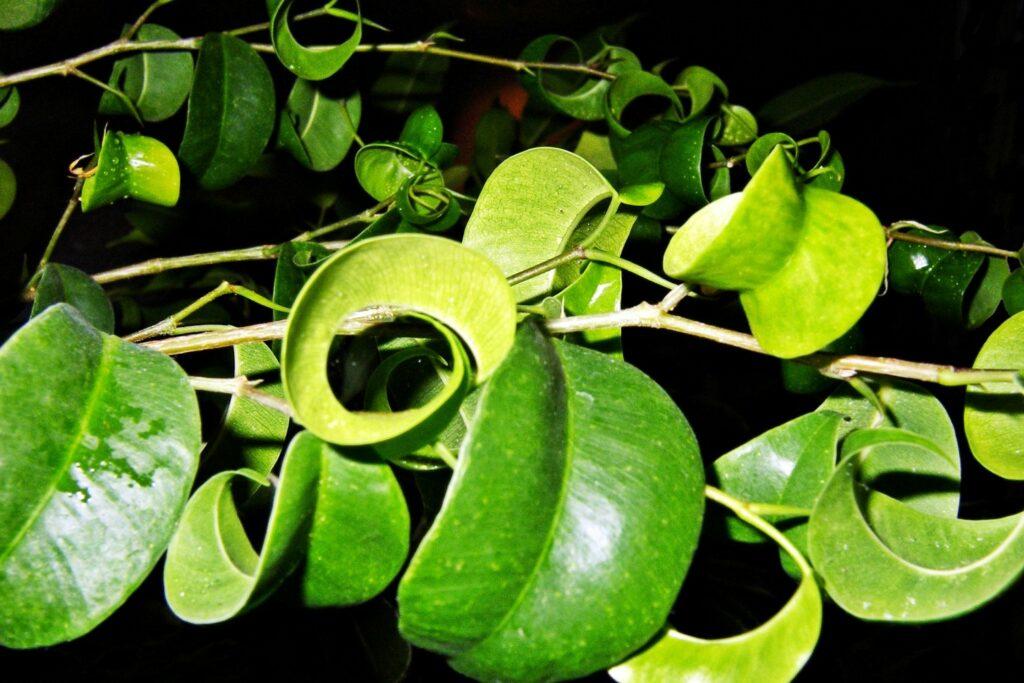 eingerollte Blätter der Sorte Barok