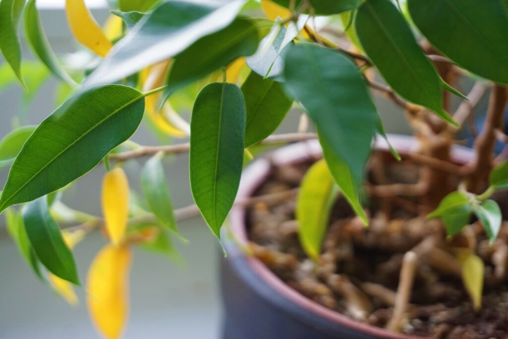Birkenfeige mit gelben Blättern