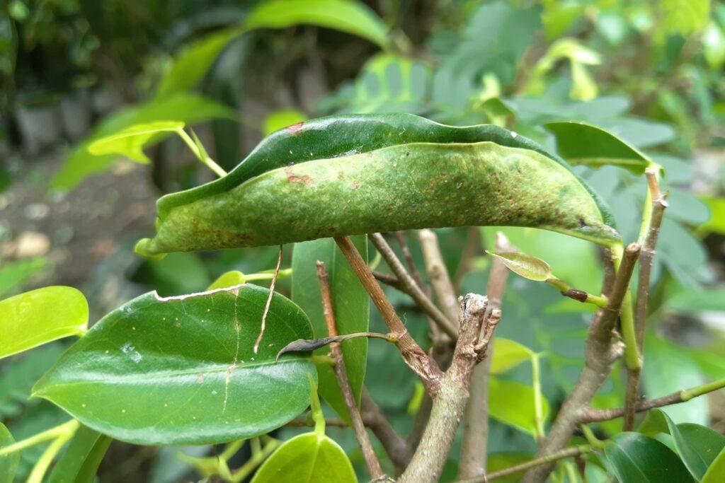 Birkenfeigen-Blatt mit Schädlingen