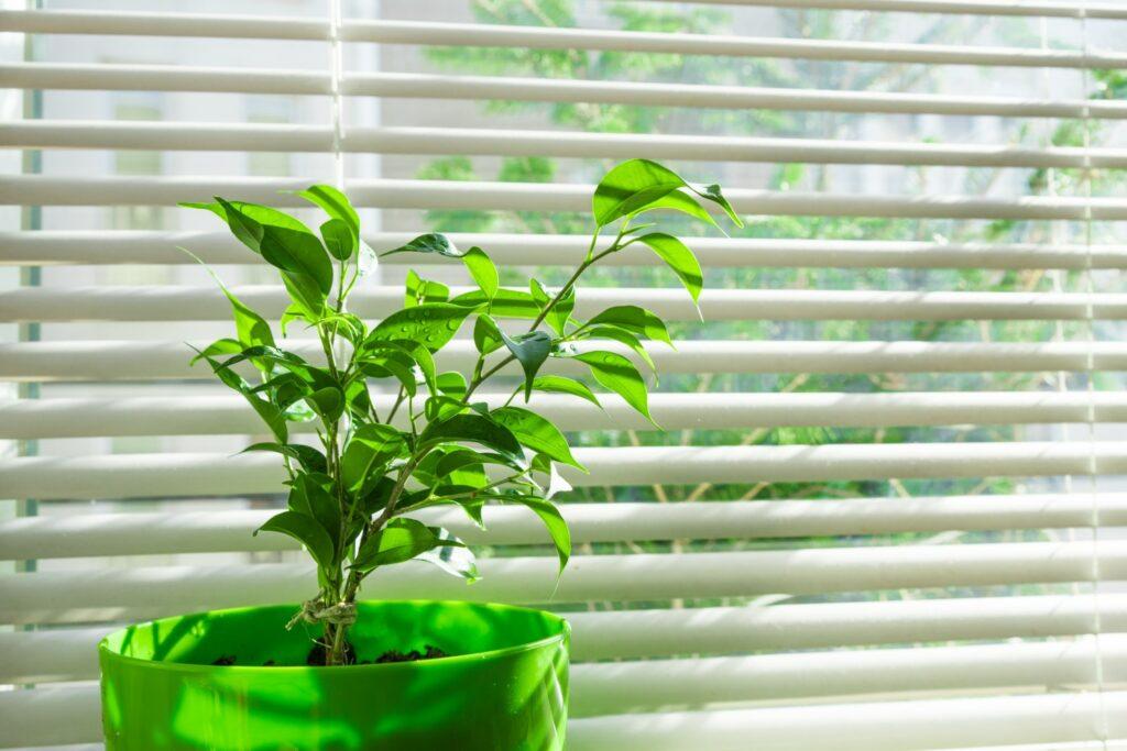 Birkenfeige vor Fenster