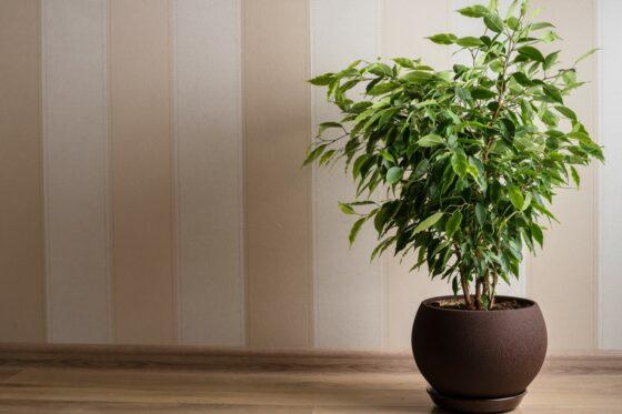 Birkenfeige: Pflanzen, Vermehren & Giftigkeit von Ficus benjamina