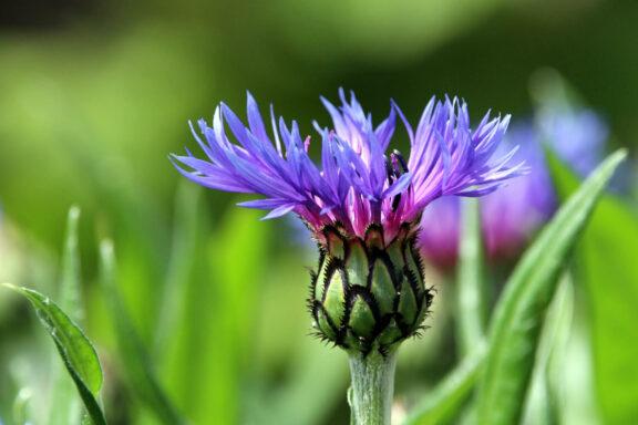 Flockenblume: Pflanzen, Pflege & die schönsten Arten der Centaurea
