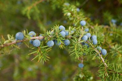 Wacholder-Arten: Die schönsten für den Garten