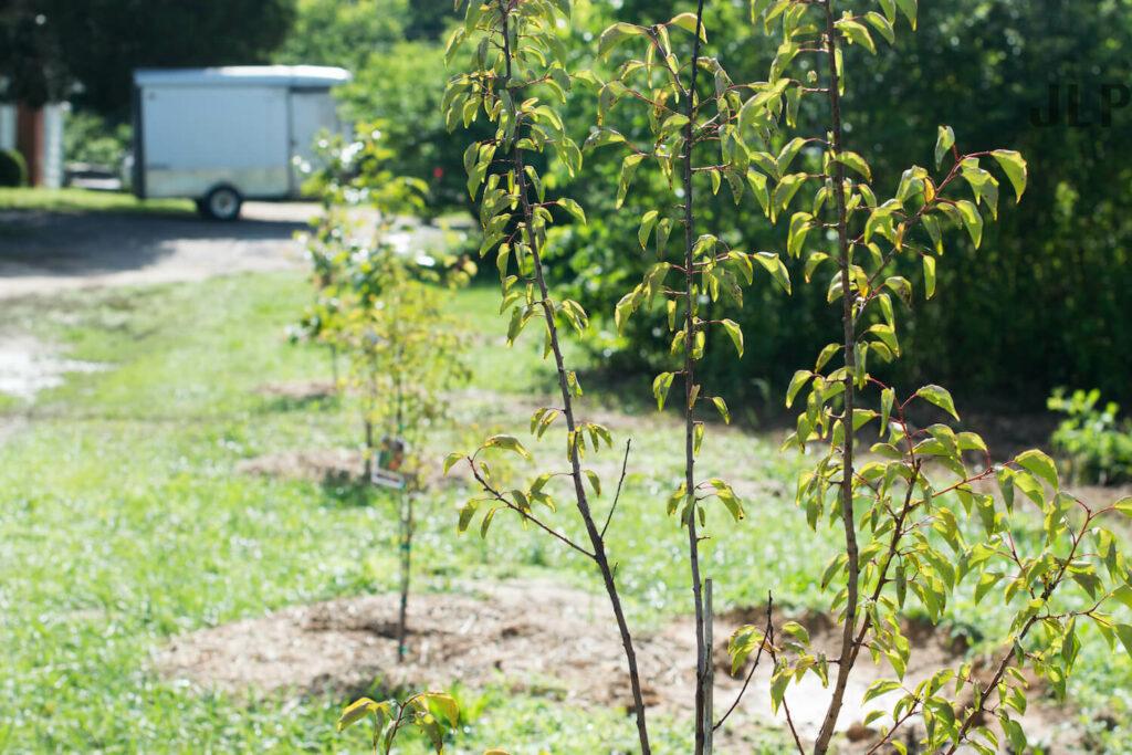 junger Aprikosenbaum
