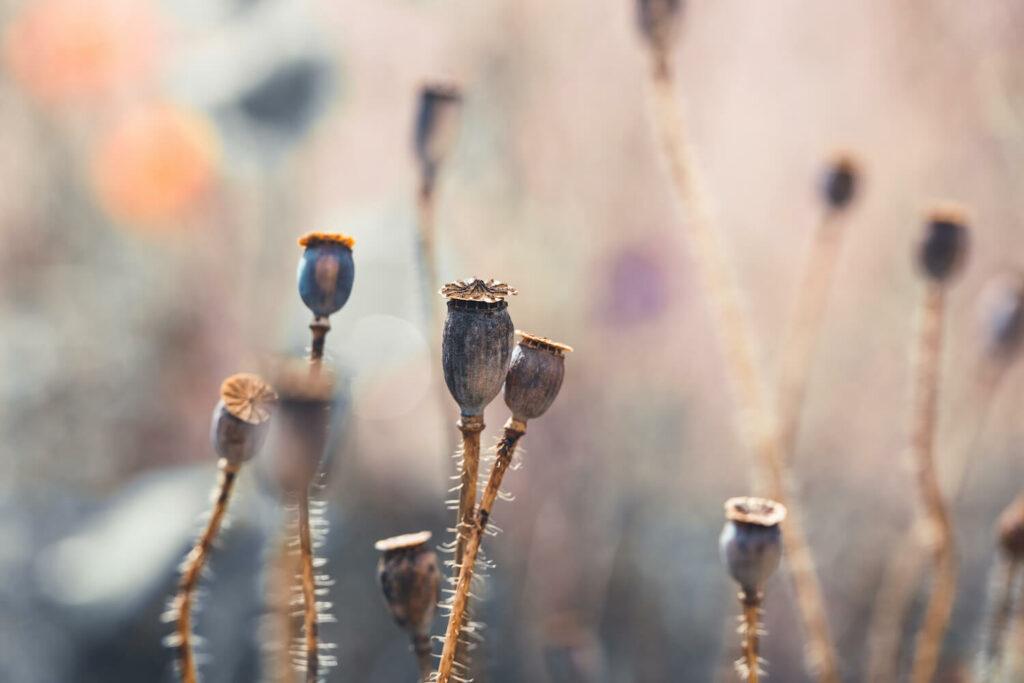 Vainas de semillas de amapola