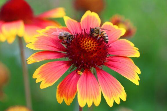 Kokardenblume: Aussaat, Schneiden & Winterhärte der Gaillardia