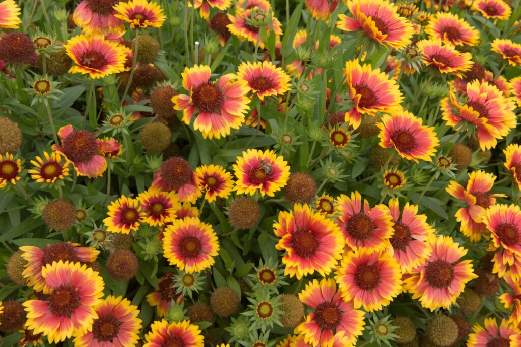 Kokardenblumen mit Biene